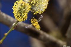 Pollen flying around the bee (alpros) Tags: sweden schweden sverige scandinavia northerneurope nordeuropa skandinavien färnebofjärden gysinge gästrikland gävleborgslän sandvikenskommun österfärnebosocken bi bee anthophila apoidea biene insect goatwillow malpighiales plantae pussywillow sälg salicaceae salix salixcaprea salweide weide willow spring vår frühling