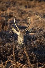 A poor attempt at camouflage! (SimonNicholls27) Tags: richmond park deer camouflage animal winter hiding bush wildlife london animals