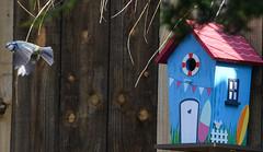 blue tit box 6 (marlesghillie) Tags: bluetit nestbox rspb gardenbirds nature spring
