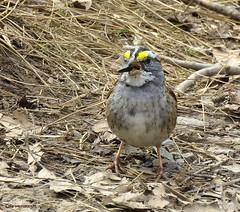 White-throated Sparrow (Lois McNaught) Tags: whitethroatedsparrow bird avian nature wildlife hamilton ontario canada