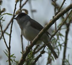 Blackcap (Robert & Pamela) Tags: baronshaugh rspb scotland birds wildlife blackcap