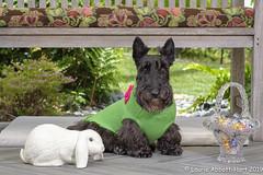 20190421 Maggie Bunny  25624 (Laurie2123) Tags: easter2019 fujixt2 laurieturnerphotography laurietakespics laurie2123 maggie missmaggie scottie scottishterrier backyard blackscottishterrier blackdog