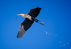Aerial Evacuation (Scott M. Mohn) Tags: guano greatblueheron wings wildlife nature twigs beak plumage legs feathers wingspan nesting minnesota spring inflight heron wild bluesky birdwatching bird ardeaherodias colony rookery herony building pelecaniformes ardeidae flight outdoors shadows