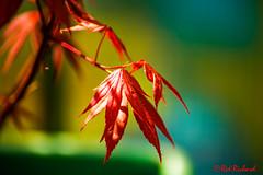 Acer (J6) (red.richard) Tags: acer leaves flora blur red nikon d800 cof069dmnq cof069mark cofo69caro cof069chri cof069chon