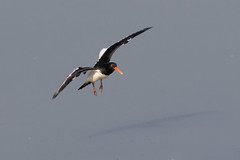Oystercatcher (Deadpanhammer) Tags: oystercatcher attenboroughnaturereserve canon7dmk2 ef400mmf56l wildlife bird nature