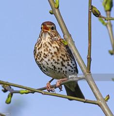 Song Thrush (Gary Chalker, Thanks for over 4,000,000. views) Tags: thrush songthrush bird pentax pentaxk3ii k3ii pentaxfa600mmf4edif fa600mmf4edif fa600mm 600mm
