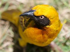 Speke's Weaver Ploceus spekei (nik.borrow) Tags: bird weaver ngorongoro