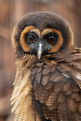 Scottish Owl Centre 15 (Five Second Rule) Tags: scottishowlcentre scotland owl bird polkemmetcountrypark whitburn wildlife birds perched wings flying 2019 april brownwoodowl