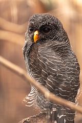 Scottish Owl Centre 17 (Five Second Rule) Tags: blackbandedowl scottishowlcentre scotland owl bird polkemmetcountrypark whitburn wildlife birds perched wings flying 2019 april
