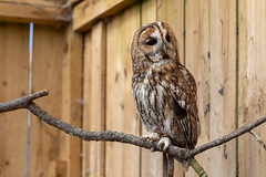 Scottish Owl Centre 21 (Five Second Rule) Tags: scottishowlcentre scotland owl bird polkemmetcountrypark whitburn wildlife birds perched wings flying 2019 april tawnyowl