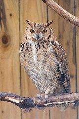 Scottish Owl Centre 26 (Five Second Rule) Tags: scottishowlcentre scotland owl bird polkemmetcountrypark whitburn wildlife birds perched wings flying 2019 april