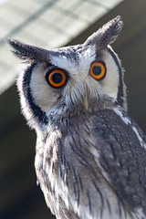Scottish Owl Centre 29 (Five Second Rule) Tags: scottishowlcentre scotland owl bird polkemmetcountrypark whitburn wildlife birds perched wings flying 2019 april whitefacedowl