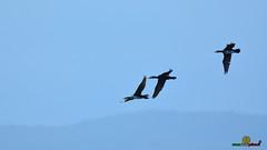 A-LUR_5886 (OrNeSsInA) Tags: aly passignano panicale natura panorami campagma campagna landescape trasimeno nikon canon airone airon cormorano spettacolo birdwatching albero cielo animale mare acqua uccello