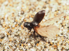 Leiopsammodius japonicus (tuyamagu) Tags: insect entomology beetle aphodiinae leiopsammodius japan macrophotography macro nature scarabaeoidea scarabs scarabaeidae coleoptera