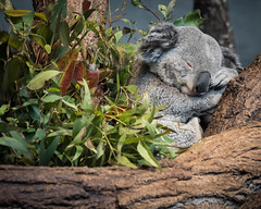 Tough day (Valérie C) Tags: cute koala animal sleeping nature nap tree branch nikon nikkor 75300mm marsupial