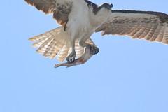 DSC_0360 (tracie7779) Tags: fishhawk huntingtonbeach pandionhaliaetus seahawk sunsetaquaticmarina westernosprey bird hawk osprey predation