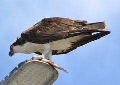 DSC_0349 (tracie7779) Tags: fishhawk huntingtonbeach pandionhaliaetus seahawk sunsetaquaticmarina westernosprey bird hawk osprey predation