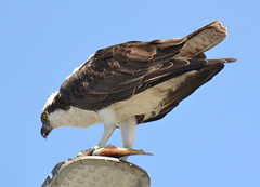 DSC_0347 (tracie7779) Tags: fishhawk huntingtonbeach pandionhaliaetus seahawk sunsetaquaticmarina westernosprey bird hawk osprey predation