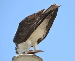 DSC_0346 (tracie7779) Tags: fishhawk huntingtonbeach pandionhaliaetus seahawk sunsetaquaticmarina westernosprey bird hawk osprey predation