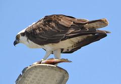 DSC_0345 (tracie7779) Tags: fishhawk huntingtonbeach pandionhaliaetus seahawk sunsetaquaticmarina westernosprey bird hawk osprey predation