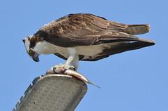 DSC_0344 (tracie7779) Tags: fishhawk huntingtonbeach pandionhaliaetus seahawk sunsetaquaticmarina westernosprey bird hawk osprey predation