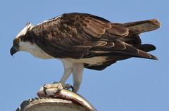 DSC_0321 (tracie7779) Tags: fishhawk huntingtonbeach pandionhaliaetus seahawk sunsetaquaticmarina westernosprey bird hawk osprey predation