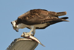 DSC_0318 (tracie7779) Tags: fishhawk huntingtonbeach pandionhaliaetus seahawk sunsetaquaticmarina westernosprey bird hawk osprey predation