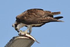 DSC_0309 (tracie7779) Tags: fishhawk huntingtonbeach pandionhaliaetus seahawk sunsetaquaticmarina westernosprey bird hawk osprey predation