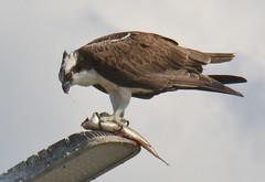 DSC_0296 (tracie7779) Tags: fishhawk huntingtonbeach pandionhaliaetus seahawk sunsetaquaticmarina westernosprey bird hawk osprey predation