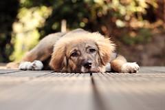 Orson (AraDolls) Tags: dog dogs puppy animal