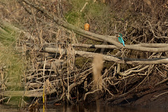PILT3978 (ottmaasikas) Tags: jäälindalcedoatthiskingfisher kingfisher jäälind alcedo atthis