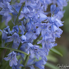 Spanish bluebells (Julisuzi) Tags: 12100mm garden m1 olympus