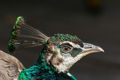 Portrait of a male juvenile peafowl. (Frederik0711) Tags: