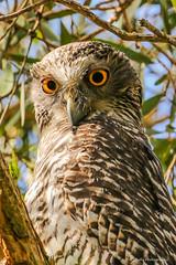 Powerful Owl 3Y4A5450 (cbells111) Tags: queensland nature owls southeastern australia environment birds powerfulowl sequeensland