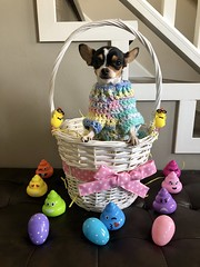 Happy Easter (Cindy's Here) Tags: happyeaster chihuahua peanut basket eggs eastereggs easterpoop iphone 100xthe2019edition 100x2019 image24100 12 119