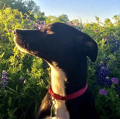 Last chance for #bluebonnets #muttsofinstagram #falena (cooperjeffreys) Tags: last chance for bluebonnets muttsofinstagram falena instagram