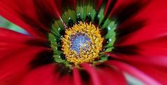 Do jardim  ( I I ) (antoninodias13) Tags: flor jardim macro foco cores tonalidades sertã portugal huawei mate20pro