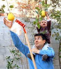 Father and son catch fruit (rafaelgonzalezm) Tags: father son fruit catch harvest collect lemon citrumelo tree