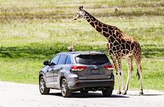 Look Mommy... (wyojones) Tags: texas glenrose somervellcounty wildlife africanwildlife closeup giraffe mammal animal kenya giraffacamelopardalis car girl family point look fossilrimwildlifecenter