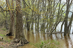 Riverine Forest (5) (Nicholas_T) Tags: pennsylvania columbiacounty southcentretownship columbiapark susquehannariver forest trees deciduous temperatedeciduousforest riparian palustrine palustrineforest spring nature creativecommons