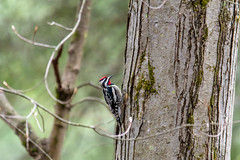 mttom2019-55 (gtxjimmy) Tags: nikond7500 nikon d7500 massachusetts newengland mttom holyoke spring bird woodpecker yellowbelliedsapsucker