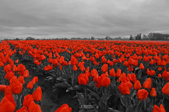 A splash of red (J0nnyM) Tags: tulip tulips flower flowers bloom blooming blooms inflorescence petal petals oregon america northwest spring red color colors monocolor vanishingpoint rows nature