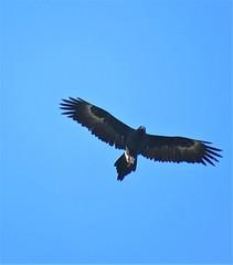 Aquila audax audax 9 (ftbirds) Tags: alum mountain bulahdelah nsw australia barry m ralley barrymralley aquila audax mainland wedgetailed eagle