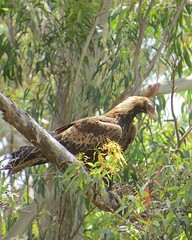 Aquila audax audax 3 (ftbirds) Tags: alum mountain bulahdelah nsw australia barry m ralley barrymralley aquila audax mainland wedgetailed eagle