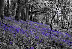 Bluebells (oneofmanybills) Tags: bluebells woodland spring gledhow leeds olympus flowers blue trees nature