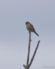 Crécerelle d'Amérique-1630.jpg (auclairpierre) Tags: americankrestel falconidés crécerelledamérique falcosparverius