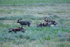 African Wild Dogs (Mark Vukovich) Tags: african wild dog painted wolf canine mammal africa tanzania serengeti national park