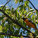 Baltimore Oriole - Life Bird