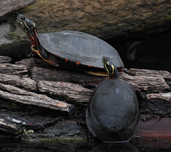 Lining Up (John Neziol) Tags: jrneziolphotography portrait animal animalphotography paintedturtle turtle wildlife outdoor photography nikon closeup ontario nature naturallight reptile