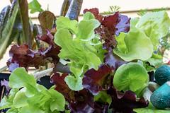 Close Up of Red And Green Leaf Lettuce Starts (ShebleyCL) Tags: garden vegetablegardening food plant leaflettuce lettuce plantstarts seedstarts vegetable greens harvest salad healthy organic
